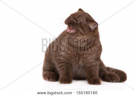 angry british shorthair kitten hissing  on white