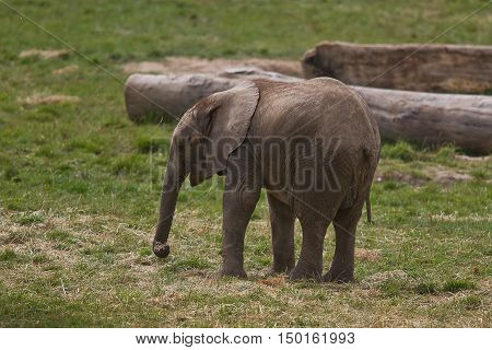 photo of a young African elephant feeding