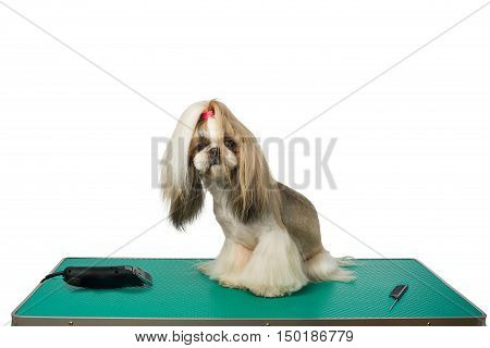 Beautiful shih-tzu dog at the groomer table with comb and razor - isolated on white
