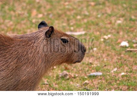 capybara is the largest rodent in the world