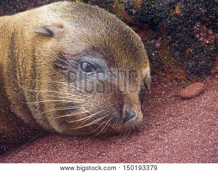 newborn sea lion in the Galapagos Islands of Ecuador
