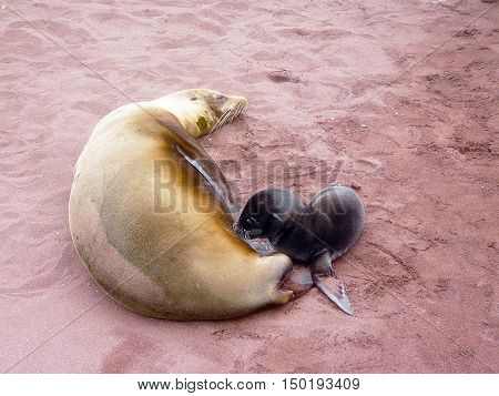 newborn sea lion with his mother in the Galapagos Islands of Ecuador