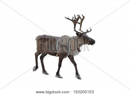 Reindeer on a white background isolated closeup