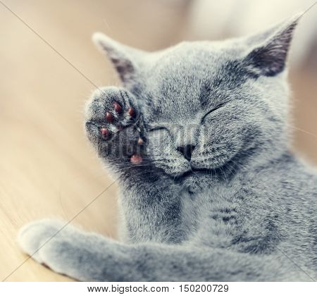 Young cute cat washing his fur. The British Shorthair pedigreed kitten with blue gray fur