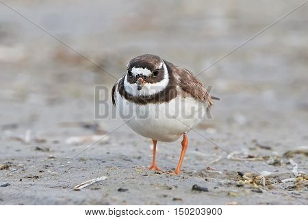 Common ringed plover standing on sand in its habitat
