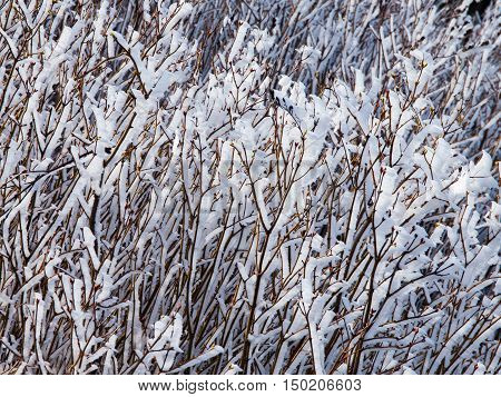 White icy hoarfrost rime on the branches. Autumn or winter theme with ice accretion.