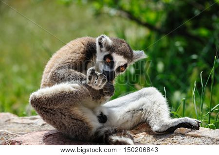One Ring-tailed Lemur licking his right leg