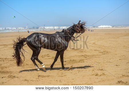 Beautiful Dark Arabian Stallion Galloping