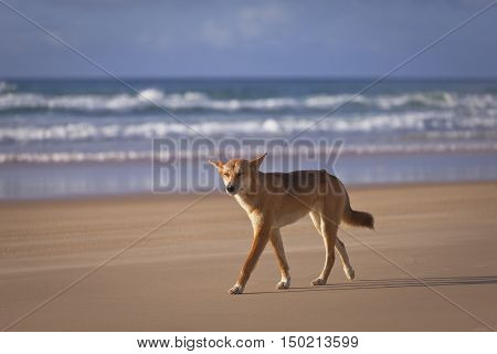 Dingo walking on 75 Mile Beach, Fraser Island, Queensland, Australia