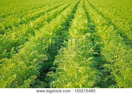 Carrots Field Rows. Farming Organic Carrots. Carrots On The Field Ready To Harvest.