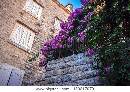 Purple flowers on a stone wall near the house (Campanula portenschlagiana )