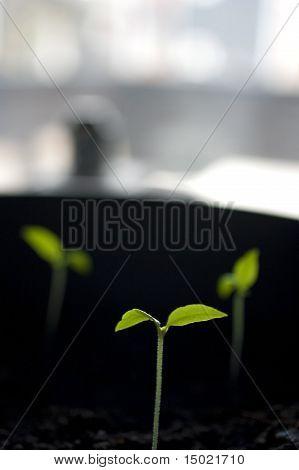 Small chili plant