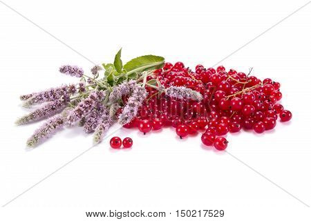 Ripe berries of garden plant red currant and flowering mint it is isolated on a white background