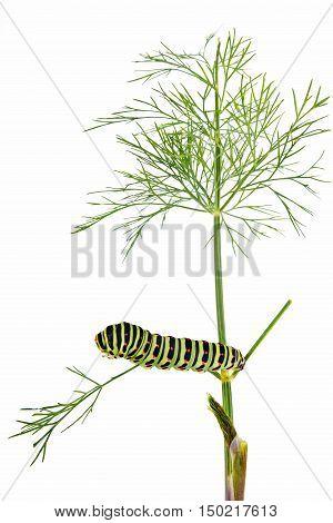 Green caterpillar Swallowtail butterfly on garden plants dill