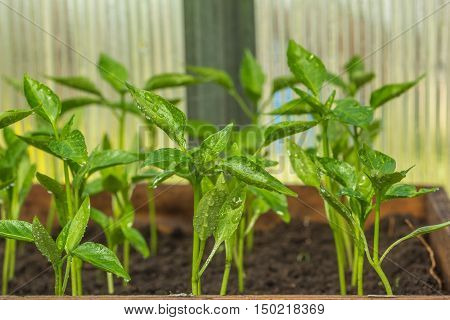 Seedlings of young pepper covered with water drops