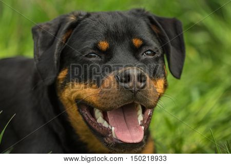 Funny muzzle Rottweiler puppy dog with open mouth and teeth