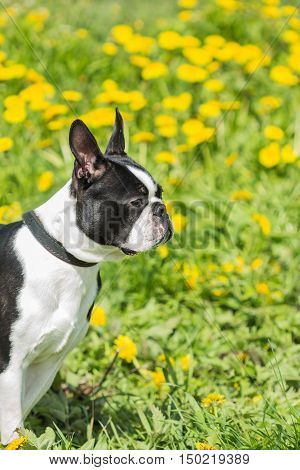 Black and white Boston Terrier dog head on a background of grass
