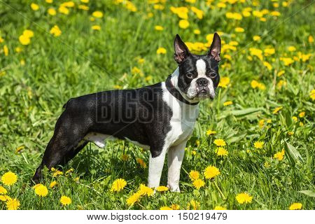 Portrait of a young Boston Terrier dog stands in a field of green grass