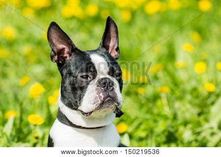 Portrait of a close-up of a Boston Terrier dog muzzle on the background field of dandelions and green grass