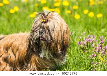 Funny Shih Tzu dog sitting in green grass