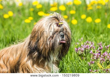 Shih Tzu dog portrait close-up on a background of green grass field