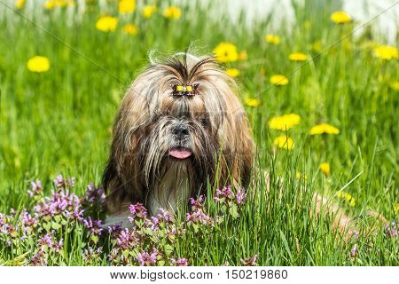 Beautiful young Shih Tzu dog among green grass and dandelions on the background