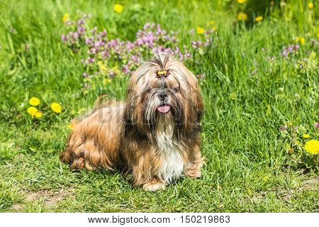 Beautiful Lonely Shih Tzu dog is standing in grass outdoors