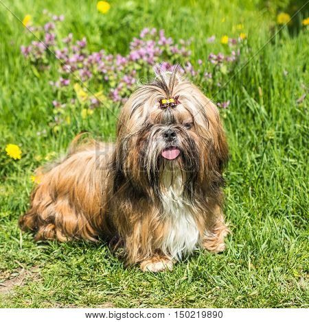 Shih Tzu dog stands in the village of Field grass outdoors