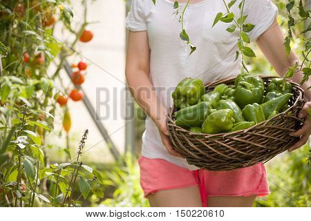 Closeup of woman's hands holding nice basket full of fresh organic paprika on garden background. Girl picking up vegetables in the greenhouse on sunny summer day. Healthy food concept