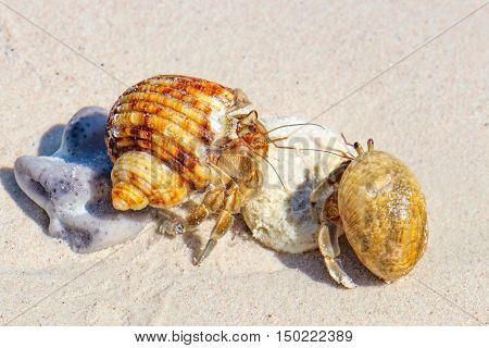 Two Hermit Crabs in a screw shell on white sand of Koh Similan Island in Similan National park Phang Nga Thailand. Selective focus