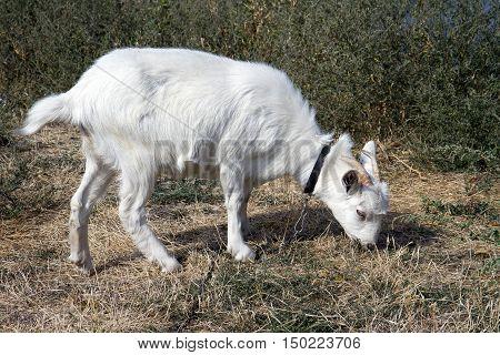 Beautiful white goat grazing in a meadow