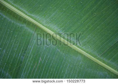nice wet gren banana leaves with stalk