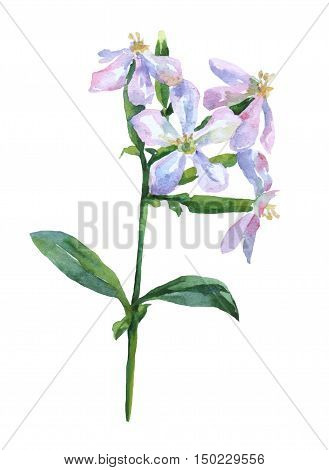 Saponaria officinalis from the carnation family (Caryophyllaceae). Watercolor hand painting illustration on isolate white background.