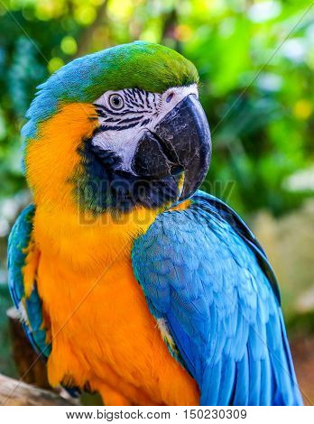 Blue-and-yellow macaw (Ara ararauna) Macaw parrot tropical bird