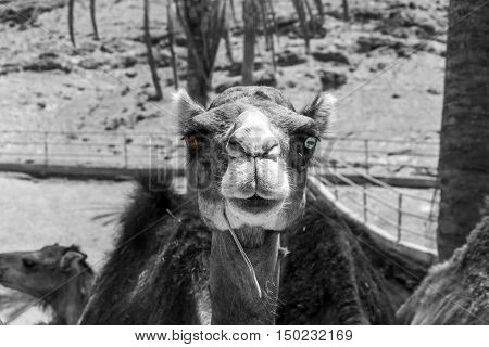 Black and white portrait of a dromedary living in captivity with different coloured eyes, the right one is brown the left one is blue. The main message of this photo is: be different! and don´t care about!
