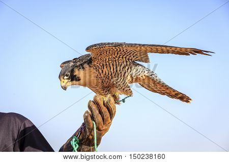 Portrait of Peregrine Falcon on a trainer's glove