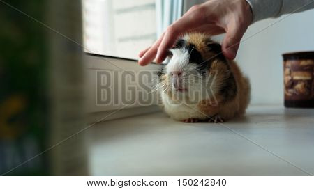big guinea pig on the windowsill in the afternoon