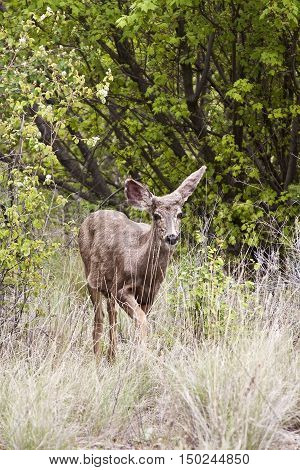 Shot of a young deer looking straight amid some bushes off highway 99 on the way to Lillooet BC on a bright overcast day in April.