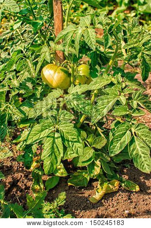 two ripening green tomatoes in the garden closeup