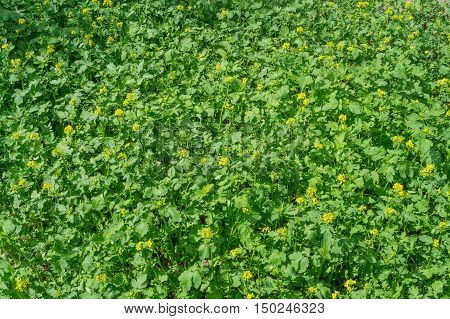 mustard blooms on the field outdoors on a sunny day