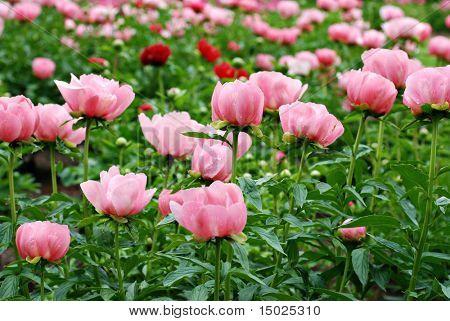 Schönen Garten von Rosa und rote Pfingstrosen kurz nach einem Regendusche.  Shallow Dof mit Tiefenschärfe