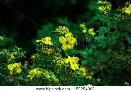 autumn beautiful yellow flowers with stamens and pistil in the garden on a green background