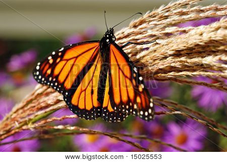 Beautiful Monarch butterfly on ornamental grass with purple flowers in background.  Close-up with extremely shallow dof.