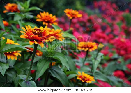 Vivid bi-color zinnias in garden.  Close-up with extremely shallow dof.  Selective focus on closest zinnia.