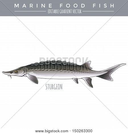 Sturgeon illustration. Marine food fish, editable gradient vector