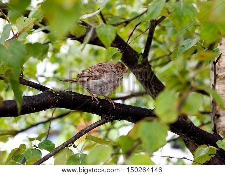 Young house sparrow Passer domesticus perched on a tree branch after rain