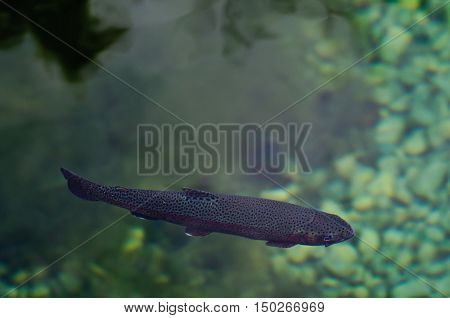 Rainbow Trout swimming in a freshwater pond
