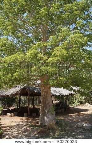 Beautiful green baobab tree in national park