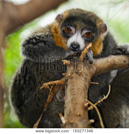 Mongoose Lemurs