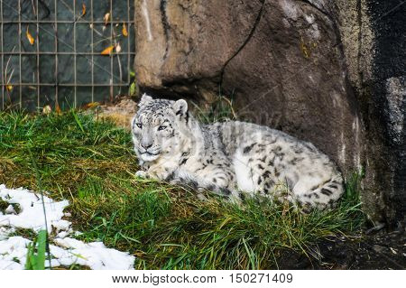 Captive Snow Leopard sitting in the grass at the zoo
